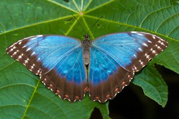 Papillon bleu Morpho