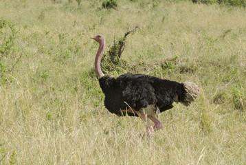 Autruche d'Afrique, male, Struthio camelus, Afrique de l'Est