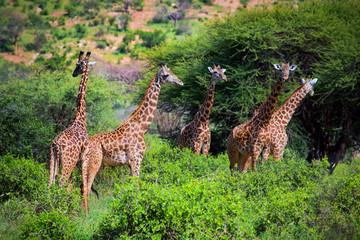 Wall Mural - Giraffes on savanna. Safari in Tsavo West, Kenya, Africa