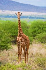 Wall Mural - Giraffe on savanna. Safari in Tsavo West, Kenya, Africa