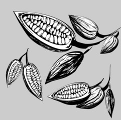 cacao beans  illustration