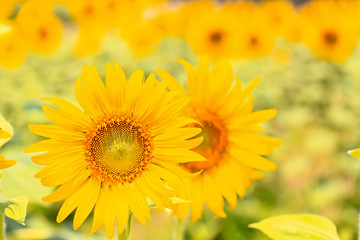 Sunflower in Lopburi province of Thailand