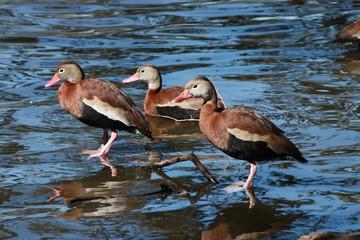 Three Black-bellied Whistling Ducks