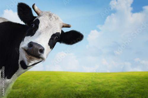 Fototapete Cow