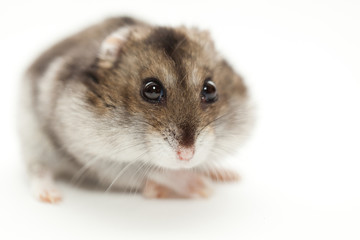 a hamster gray photographed on white background