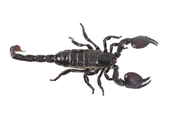 Emperor Scorpion on white background