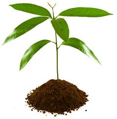 plant d'arbre fruitier tropical, manguier