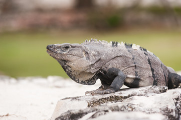 Mexican iguana sitting on the stone ruins