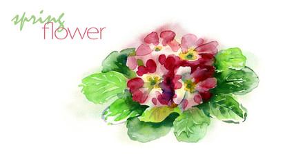 Watercolor Primula