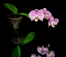 purple orchid on a black background