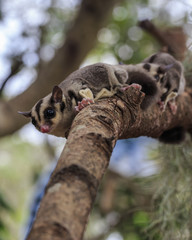 small possum or Sugar Glider