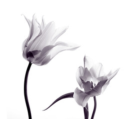 tulip  silhouettes on white