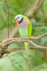 The portrait of Red-breasted parakeet in Thailand