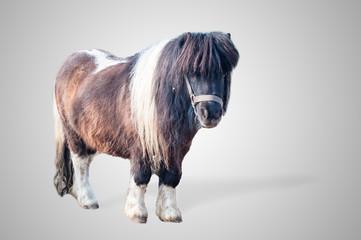pony on gray background