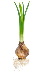 Young narcissus with bulb and roots