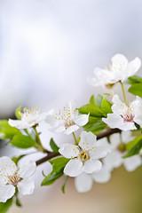 Wall Mural - White cherry blossom flowers