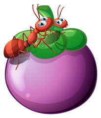 The two ants and the violet fruit