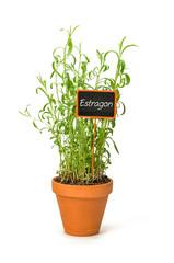 Estragon im Tontopf mit Pflanzenstecker
