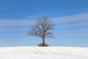 Old tree on snowy field on a blue sky bakground