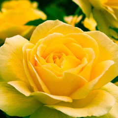 Beautiful yellow rose in a garden.