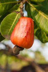 Cashew apple on a branch