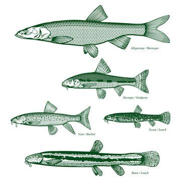 Fish freshwater vector-8