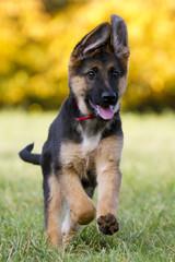 Deutscher Schäferhund Welpe freut sich und läuft zum Betrachter