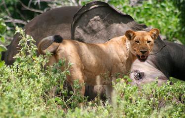leonessa che mangia elefante