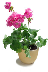 Fototapeta Seedling geranium isolated on white background obraz
