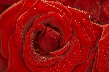 Red natural rose background  with droplets