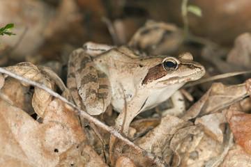 Frog among dry leafs, macro photo