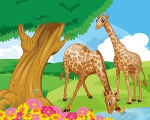 Keuken foto achterwand Rivier, meer Giraffes at the riverbank