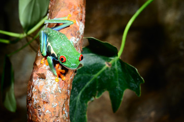 Fototapete - red-eye tree frog  Agalychnis callidryas in terrarium