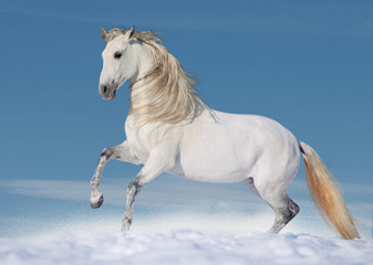 White andalusian stallion in paddock