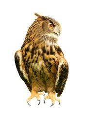 Owl isolated on white.
