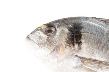 Fisch - Goldbrasse