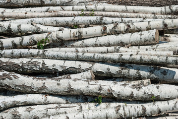 In de dag Berkbosje Fresh cutted birch logs.