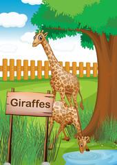 Giraffes inside the wooden fence