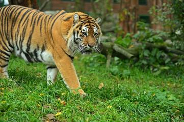 Fototapete - Portrait of the Amur tiger