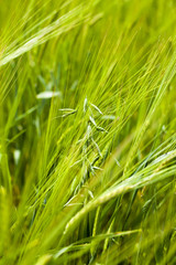 green oats