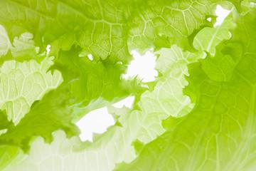 Green background. Salad lettuce.