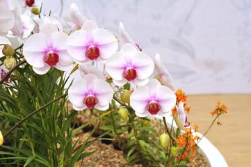 Fototapeta Phalaenopsis Orchid.