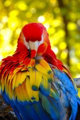 Portrait of a scarlet Macaw