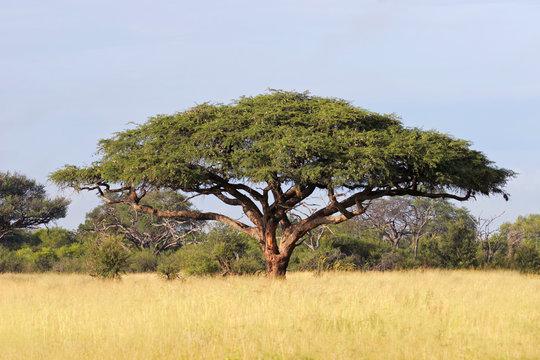 African Acacia tree, Hwange National Park
