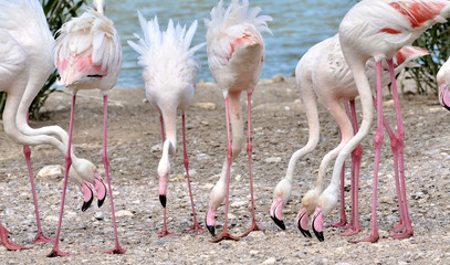 Group of flamingos (phoenicopterus) eating on the ground
