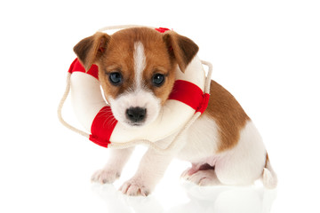 Jack Russel puppy as rescue dog