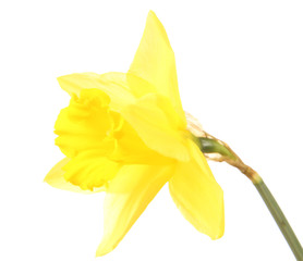 Daffodil on a white background