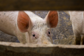 Pig looking through fence