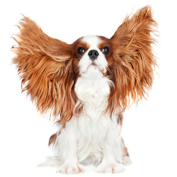 cavalier king charles spaniel dog with ears in the air
