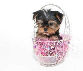 Wall Mural - Easter Yorkie Puppy